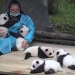 Abrazador de osos panda, el mejor trabajo del mundo