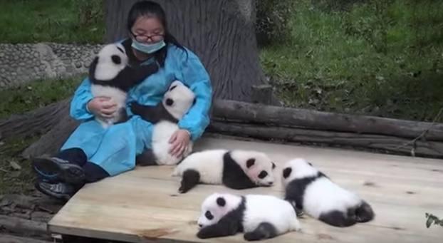 Abrazador de osos panda
