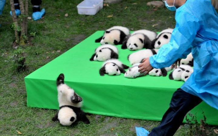 oso panda caida