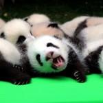 23 cachorros de oso panda fueron presentados en China