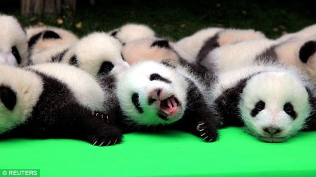 oso panda cría