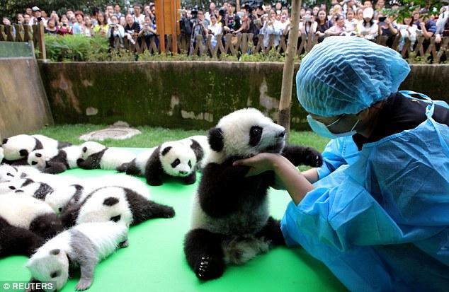 oso panda cria